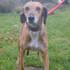 Balto sucht Familie - Galgo Espanol - English Pointer Mischling