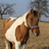 Schoschone - Quarter Horse, Paint Horse Mix