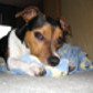 Snoopy ( Jack Russell Terrier )