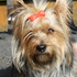 Desteny - Yorkshire Terrier