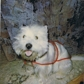 Dave of Sunflower ( West Highland White Terrier )