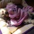 emily - Yorkshire Terrier - Chihuahua Mischling