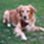 Justin - Golden Retriever - Hovawart Mischling