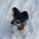 Amy - Papillon - Yorkshire Terrier Mischling