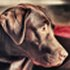 Bolle - Labrador Retriever