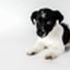 AMY - Jack Russell Terrier Mischling