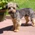 MAX - Yorkshire Terrier