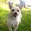 ♥ Tamino ♥ - Chihuahua - Yorkshire Terrier Mischling