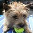 Harry - Cairn Terrier