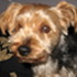 Angie - Yorkshire Terrier