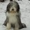 Merly - Bearded Collie