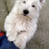 Dusty - West Highland White Terrier