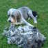 Buster - Bearded Collie
