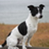 Lou - Jack Russell Terrier