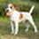 Findus HdT 02.2o14 - Parson Russell Terrier