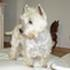 Nori - West Highland White Terrier