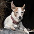 Timmy - Jack Russell Terrier