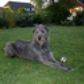 Lilith ( Irish Wolfhound )