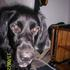 Aris - Border Collie - Gordon Setter Mischling
