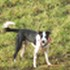 Merlin - Border Collie - Border Collie Mischling