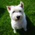 Kira - West Highland White Terrier