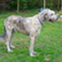 Aidan - Irish Wolfhound
