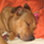 Teiro - American Staffordshire Terrier - American Pit Bull Terrier Mischling