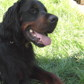 Fighter ( Gordon Setter )