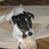 Melody - Jack Russell Terrier