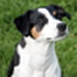 Nelly - Jack Russell Terrier