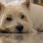 Toby ( West Highland White Terrier )