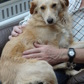 Luna ( Golden Retriever - Kleinspitz Mischling )