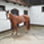 Jamira May Star - Quarter Horse, Paint Horse - Arabisches Vollblut, Araber Mix