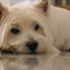 Toby - West Highland White Terrier