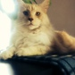 Wolle ( Maine Coon )