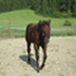 Rosalie - Quarter Horse, Paint Horse - Appaloosa Mix