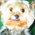 *Gini* - Yorkshire Terrier