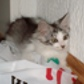 Snoopy ( Maine Coon )
