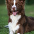 Gavin - Border Collie