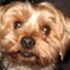 Francis - Yorkshire Terrier