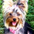 Lana - Yorkshire Terrier