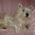 Lilly - West Highland White Terrier