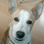 Jerry Lee - Jack Russell Terrier Mischling