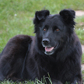 Shandra ( Flat Coated Retriever - Border Collie Mischling )