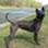 Dita - Thai Ridgeback Dog