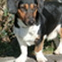 Calimero - Dachshund - Jack Russell Terrier Mischling