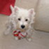 Gini (Sweety) - West Highland White Terrier