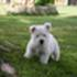Killer - West Highland White Terrier