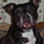 Lucie - American Staffordshire Terrier