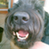 Chouly - Riesenschnauzer - Bearded Collie Mischling